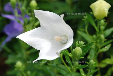白花キキョウの素材 [FYI00363224]