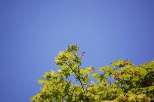 青空に赤いもみじの種の写真素材 [FYI00363237]