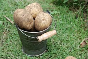 ジャガイモの収穫の写真素材 [FYI00363284]