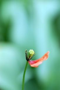 花びらの散ったポピーの写真素材 [FYI00363364]