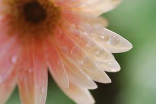 雨に濡れたガーベラのアップの写真素材 [FYI00363498]