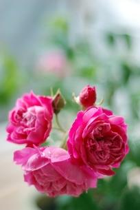 バラ 紫燕飛舞の写真素材 [FYI00363557]