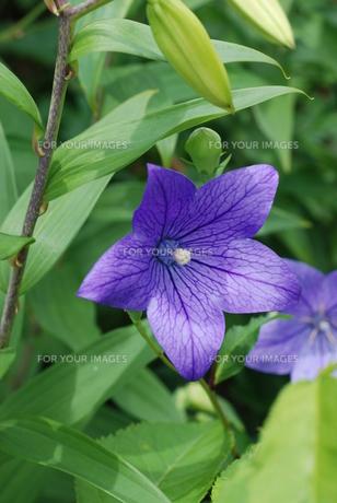 庭に咲くキキョウの素材 [FYI00363581]
