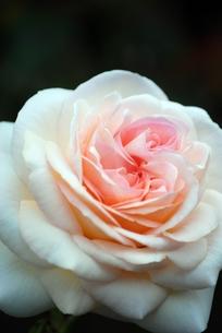 バラ セバスティアン・クナイプの写真素材 [FYI00363592]