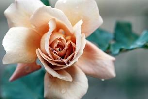 薔薇 ジュリアのアップの写真素材 [FYI00363722]