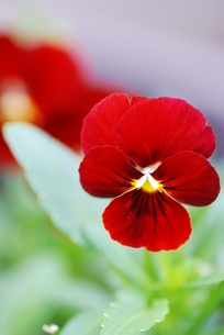 赤いビオラのアップの写真素材 [FYI00363728]