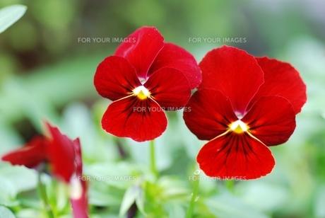 赤いビオラのアップの写真素材 [FYI00363743]