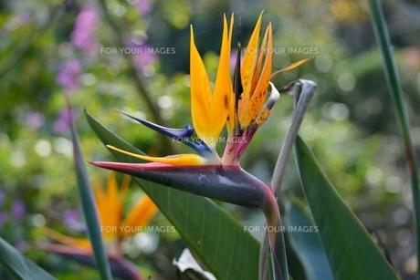 極楽鳥花の写真素材 [FYI00363754]