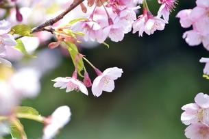 河津桜のアップの写真素材 [FYI00363909]
