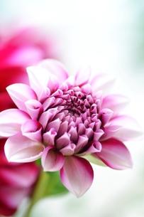 ピンクのダリアのアップの写真素材 [FYI00364071]