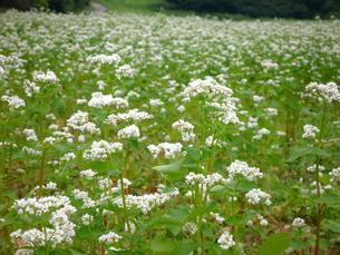 蕎麦の花の写真素材 [FYI00364177]