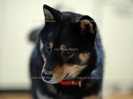 黒柴犬のテツくんの写真素材 [FYI00364187]