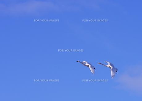白鳥の空中散歩の写真素材 [FYI00364234]