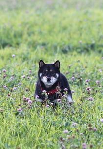 黒柴犬テツくんの写真素材 [FYI00364252]