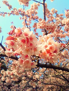 sakuraの写真素材 [FYI00364261]