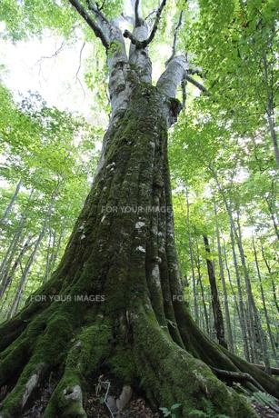 日本一のブナの大木の素材 [FYI00364270]