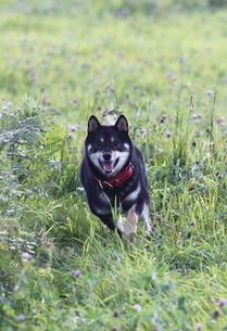 黒柴犬テツくんの写真素材 [FYI00364276]