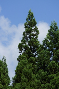杉の写真素材 [FYI00364359]
