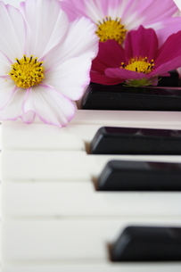 コスモスと鍵盤の写真素材 [FYI00364361]