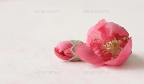 桃の花とつぼみの素材 [FYI00364398]