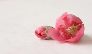 桃の花とつぼみの写真素材 [FYI00364398]