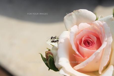 バラと蟻2匹の写真素材 [FYI00364399]