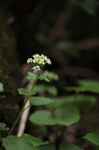 ワサビの花の素材 [FYI00364447]