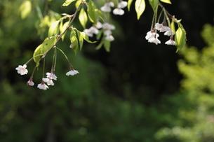 しだれ桜の素材 [FYI00364451]