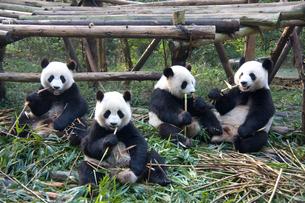 笹を食べる4頭のパンダの写真素材 [FYI00364453]