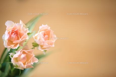 三輪のバラの花の素材 [FYI00364471]