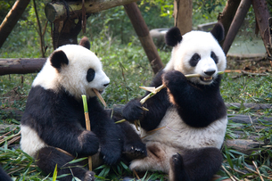 食事中のパンダの写真素材 [FYI00364550]