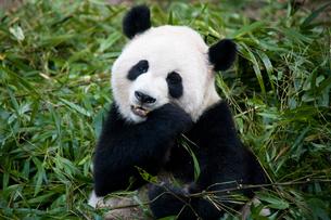 笹を食べるパンダの写真素材 [FYI00364553]