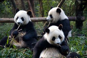 食事中の3頭のパンダの写真素材 [FYI00364562]