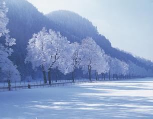 霧氷の並木道の写真素材 [FYI00364564]