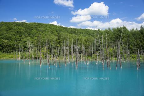 美瑛白金の青い池の写真素材 [FYI00365126]
