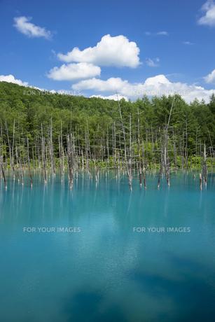 美瑛白金の青い池の写真素材 [FYI00365131]