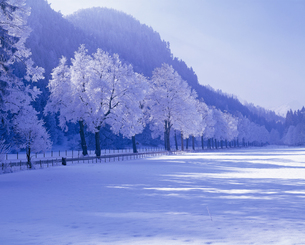 ババリア地方の霧氷の並木の写真素材 [FYI00365498]