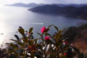 万葉岬の椿の写真素材 [FYI00367221]