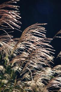 光るすすきの写真素材 [FYI00367240]
