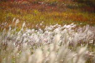 砥峰高原のすすきの写真素材 [FYI00367243]