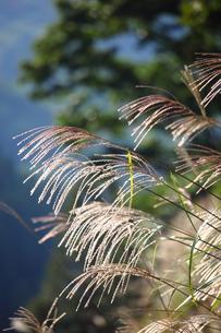 砥峰高原のすすきの写真素材 [FYI00367248]