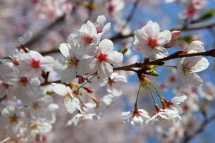 桜の写真素材 [FYI00367261]