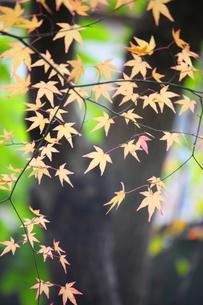 もみじの写真素材 [FYI00367263]