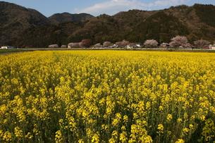 菜の花畑の写真素材 [FYI00367278]