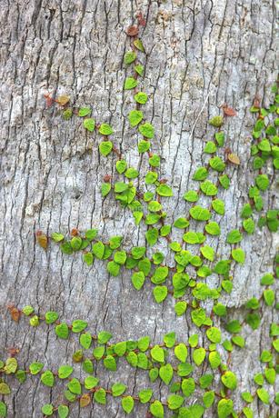 つる植物の素材 [FYI00367287]