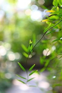 つる植物の写真素材 [FYI00367292]
