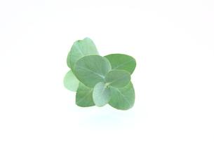 ユーカリの葉の写真素材 [FYI00367331]