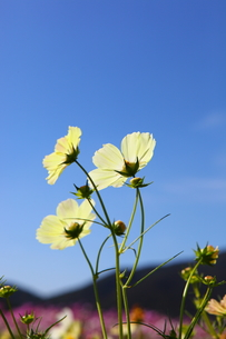 コスモス畑の写真素材 [FYI00367399]