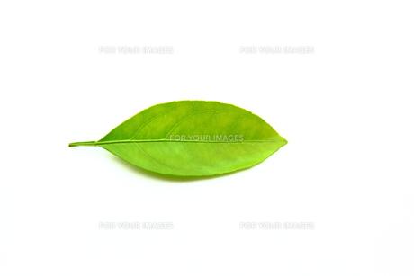 葉っぱの素材 [FYI00367466]