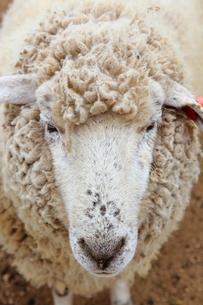 羊の写真素材 [FYI00367543]